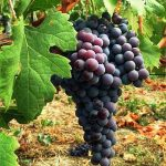 vigneto-vigna-uva-agricoltura-vino-2-300x300